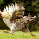 poule-volant